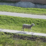 SHEEP ON A SIDEWALK!