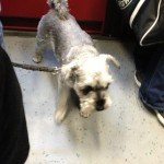 Terrier on the S-Bahn!
