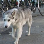 Gorgeous Husky in the market